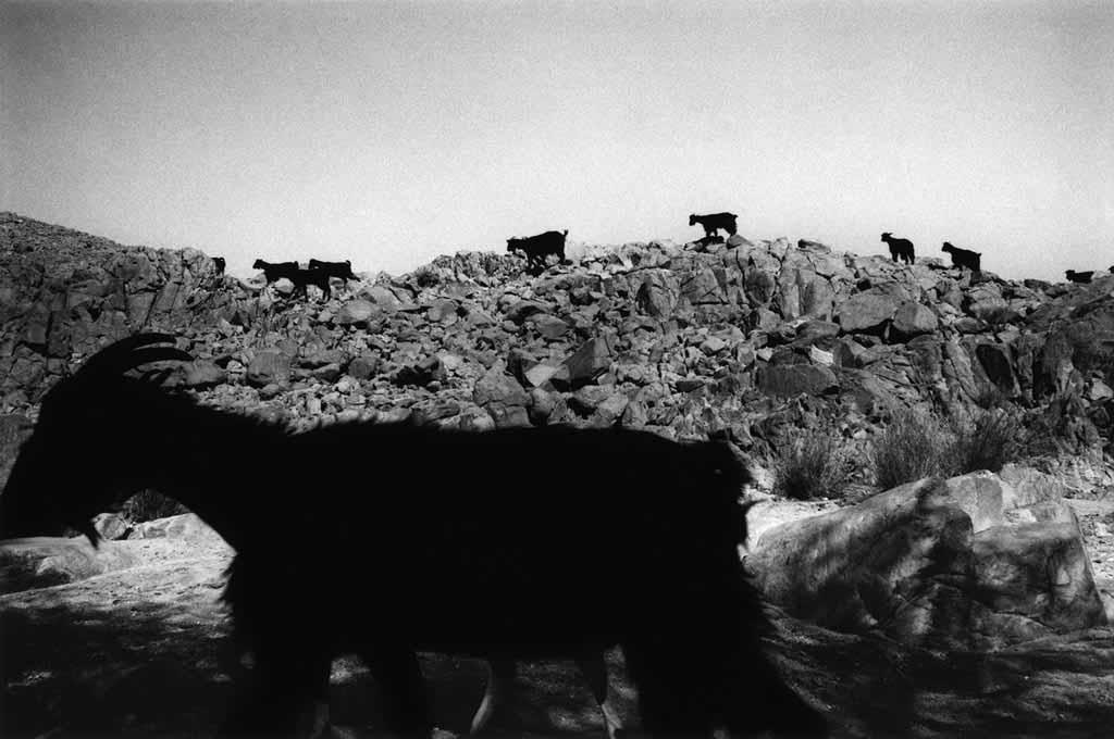 Les chèvres rentrent à Taroumout, village de Touaregs sédentaires. Le travail quotidien des femmes et des enfants est de mener les chèvres dans les pâturages. Ce sont des circuits divers de plusieurs kilomètres. Ils partent après l'aube et reviennent seulement en fin d'après-midi puisque la « randonnée » s'arrête pendant les deux heures les plus chaudes de l'après-midi. Tassili du Hoggar, Sahara algérien, mai 1993