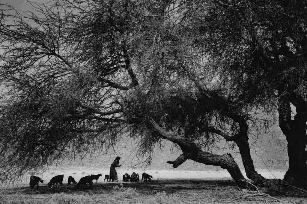 Pas loin de la tente de Hawa se trouve cet arbre dont les haricots sont des friandises pour les chèvres. Hawa secoue les branches pour faire tomber les haricots. Oued Essendilène, Tassili n'Ajjers, avril 1997