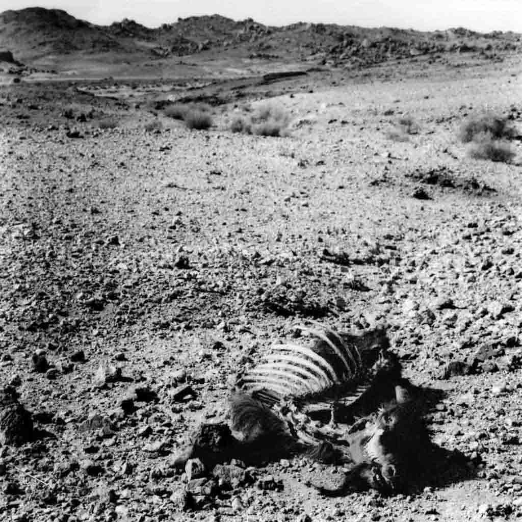 Il arrive régulièrement qu'une chèvre soit attaquée et tuée par un chacal lors du parcours de pâturage effectué chaque jour. Tassili du Hoggar, Sahara algérien 1993