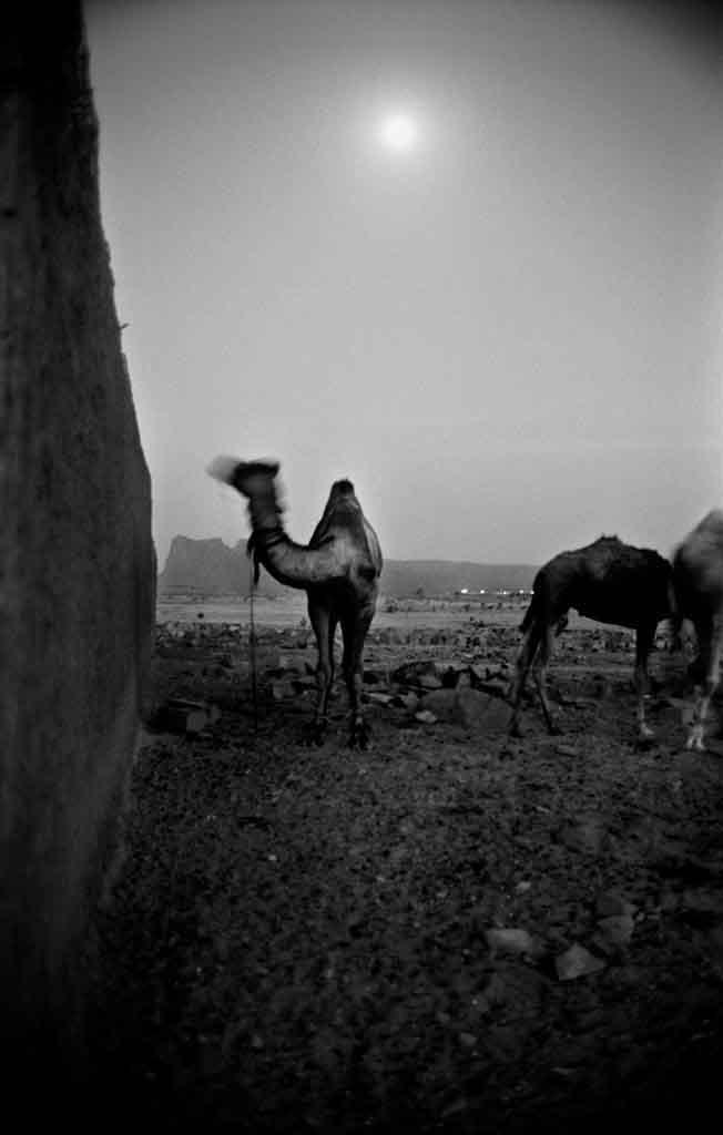 Des chameaux dans la paix et la fraîcheur du soir à Tamanrasset. Tassili du Hoggar, 1993